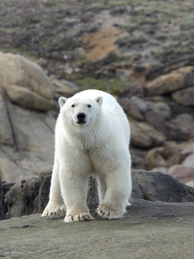 This image has an empty alt attribute; its file name is Poloar-Bear-767x1024.jpg